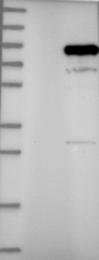 NBP1-89731 - PIK3R1 / GRB1