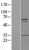 NBL1-14387 - PIAS3 Lysate