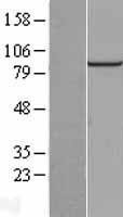 NBL1-14389 - PIBF1 Lysate