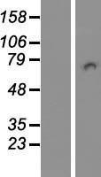 NBL1-14390 - PICALM Lysate