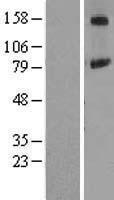 NBL1-14402 - PIGN Lysate