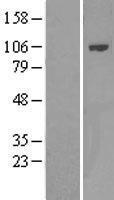 NBL1-14414 - PIK3AP1 Lysate