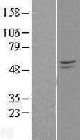 NBL1-14422 - PIK3R3 Lysate