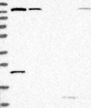 NBP1-82451 - PIK3R4