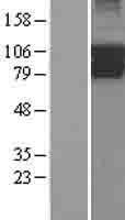 NBL1-14424 - PIK3R5 Lysate