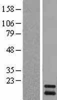 NBL1-14429 - PIN4 Lysate
