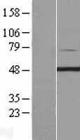 NBL1-14433 - PIP5K2 gamma Lysate