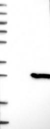 NBP1-87271 - CSDC2
