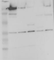 NBP1-86864 - PITPNB