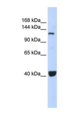 NBP1-54796 - PIWIL1