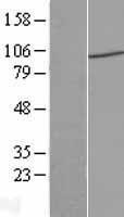 NBL1-14452 - PIWIL4 Lysate