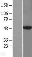 NBL1-14768 - PKA 2 beta Lysate
