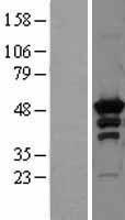 NBL1-14767 - PKA R2 Lysate