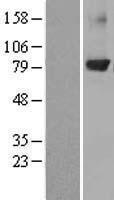 NBL1-14770 - PKC beta Lysate