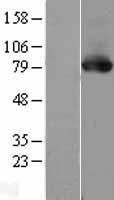 NBL1-14771 - PKC delta Lysate