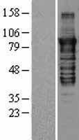 NBL1-14774 - PKC epsilon Lysate