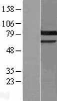 NBL1-14775 - PKC gamma Lysate