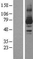 NBL1-14777 - PKC iota Lysate