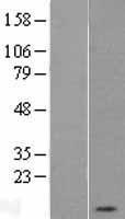 NBL1-14457 - PKI-alpha Lysate