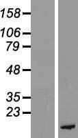 NBL1-14459 - PKI-beta Lysate