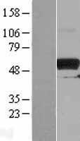 NBL1-14463 - PKMYT1 Lysate