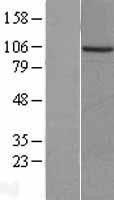NBL1-14464 - PKN3 Lysate