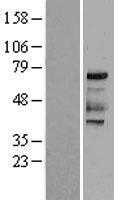 NBL1-10176 - PKR Lysate