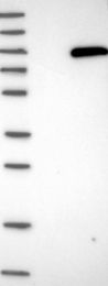 NBP1-81586 - PLA2G6
