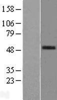 NBL1-14477 - PLA2G7 Lysate