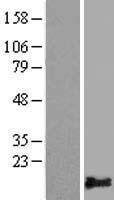 NBL1-14482 - PLAC9 Lysate