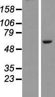 NBL1-14483 - PLAG1 Lysate