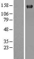 NBL1-14491 - PLCG 2 Lysate