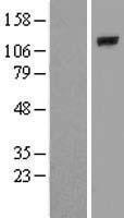 NBL1-14492 - PLCL2 Lysate