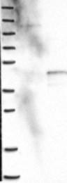 NBP1-83753 - PLCXD1