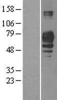 NBL1-14495 - PLD3 Lysate