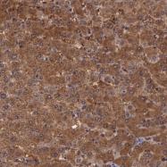 NBP1-86180 - Pleckstrin 2 / PLEK2