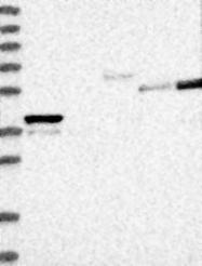 NBP1-83924 - PLEKHA3