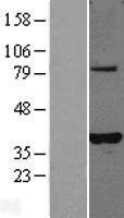 NBL1-14502 - PLEKHA3 Lysate