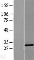NBL1-14506 - PLEKHB2 Lysate