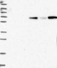 NBP1-83840 - MyoGEF