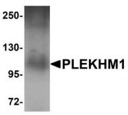 NBP1-77088 - PLEKHM1