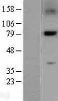 NBL1-14516 - PLK2 Lysate