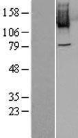 NBL1-14518 - PLK4 Lysate
