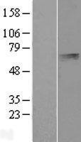 NBL1-14528 - PLTP Lysate