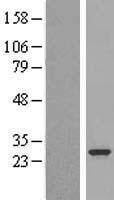 NBL1-14531 - PLUNC Lysate