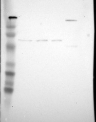 NBP1-80894 - ZBTB16