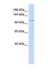 NBP1-59465 - ATP2B3 / PMCA3