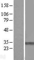 NBL1-14536 - PMM1 Lysate