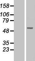 NBL1-14544 - PNLIPRP1 Lysate
