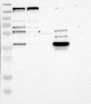 NBP1-87913 - PNMAL1
